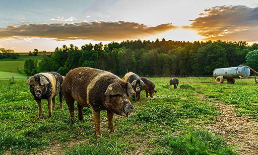 Bio-Schweinefleisch ist immer stärker gefragt, die Unsicherheiten beim Stallbau aber groß