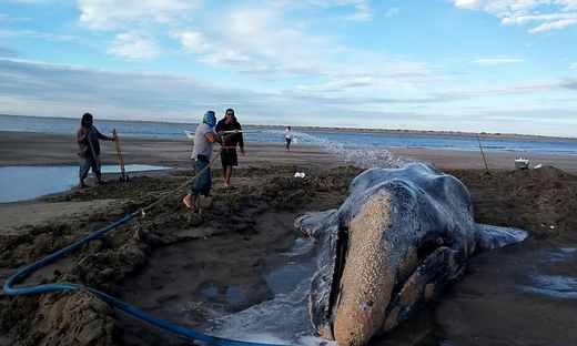 Der Wal ist zurück im Pazifik
