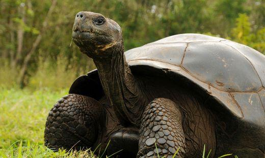 Mehr als 150 Riesenschildkröten finden neue Heimat