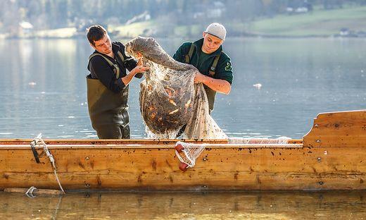 Grundlsee, Laichfischen, Lechfischen