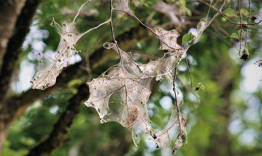 Gespinnstmotte Raupe Seidengespinne Netze