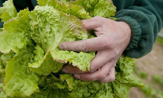 Salate, wie Grazer Krauthäuptel, kann man auch jetzt noch säen und im Herbst ernten