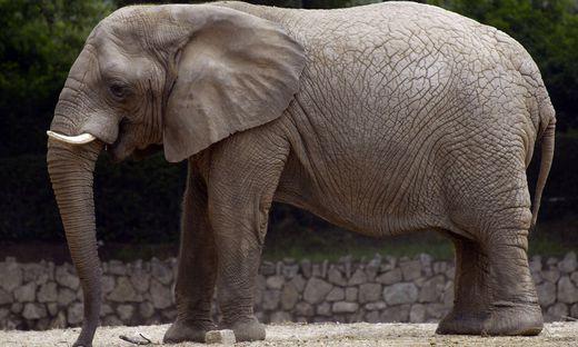Sujetbild Zoo-Elefant