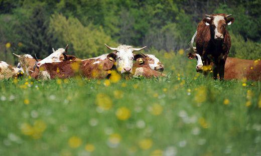 Je mehr Abstand, desto besser. Vor allem um Kuhherden mit Jungtieren sollten Wanderer einen großen Bogen machen. Erst recht mit Hunden