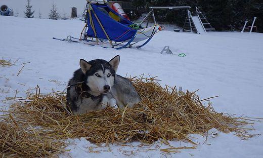 Huskys genießen ruhige Momente gerne im wärmenden Stroh