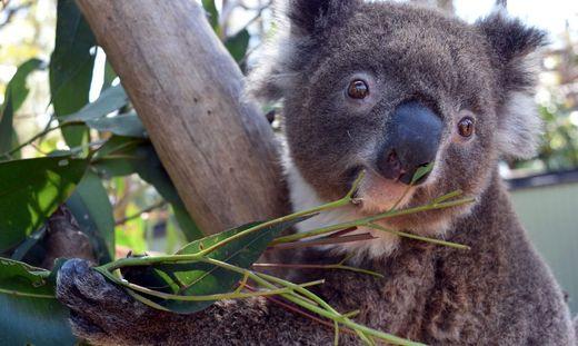 Koala-Bärin Irene brach aus Zoo aus