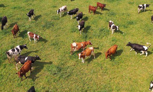Die Wanderer hatten ein Weidegebiet durchquert, in der 44 Rinder in Mutterkuhhaltung waren