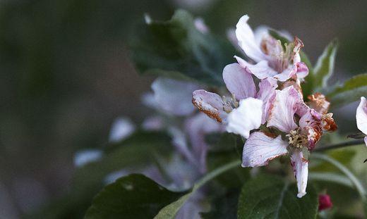 Der Frost ist für Obstkulturen nicht ungefährlich (Archivbild)