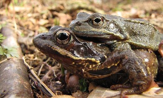 Extrem frühe Froschwanderung in Kärnten: Die ersten Amphibien waren bereits im Februar unterwegs