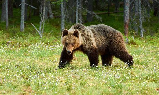 In der Südsteiermark wurde ein Braunbär gesichtet (Sujetbild)