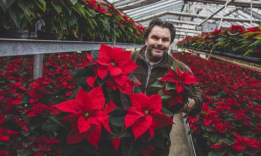 1000 leuchtend rote Weihnachtssterne Gaerntnerei Walter Urabl Klagenfurt November 2020