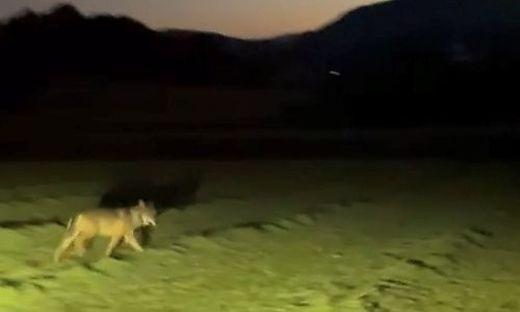 Der Jäger dachte zuerst, dass es sich um einen wildernden Hund handelt