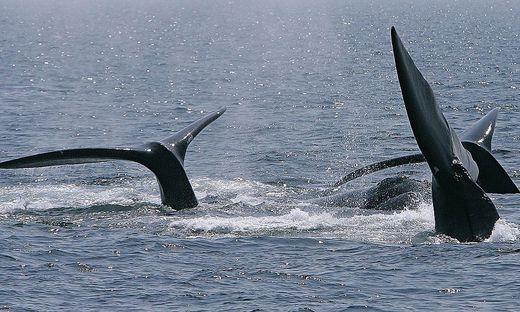 In Island verzichtet man auch 2020 auf den Walfang