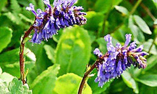 Die Wulfenia steht derzeit in voller Blüte. Sie ist strengstens geschützt und wächst in dieser Art nur auf dem Nassfeld