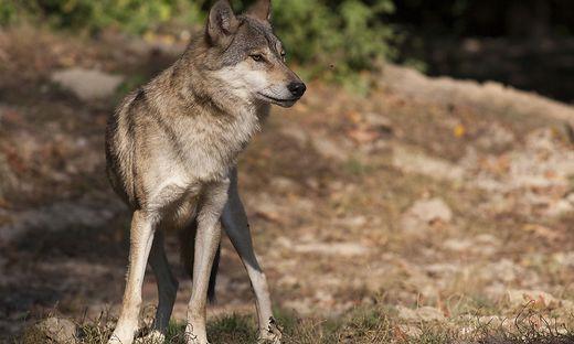 einzelner Wolf