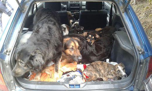 Kärntnerin wegen Tierquälerei verurteilt. Sie hat heuer zehn ihrer Hunde sediert und in einem Auto eingesperrt