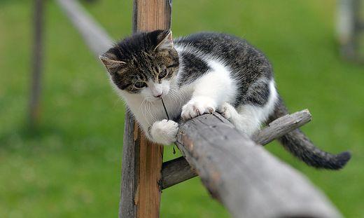 In Australien sind Hauskatzen sehr gefährlich