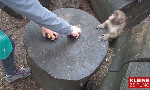 Wen tippen die Affen zum Sieg?