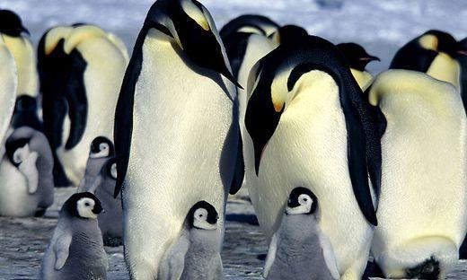 Pinguine als Übeltäter