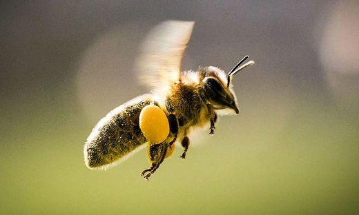 Die Bienen sind eine evolutionäre Erfolgsgeschichte