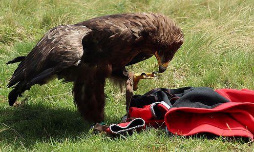 Adler überrascht Wanderer
