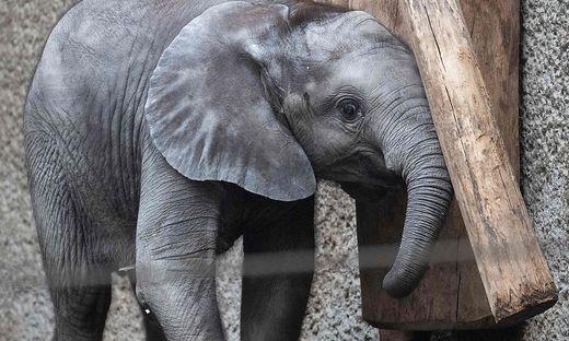 AUSTRIA-ANIMALS-ZOO-ELEPHANT