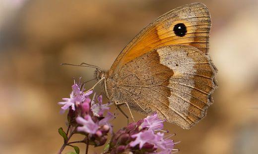 Bl�hendes �sterreich und GLOBAL 2000 feiern Rekord: 18.715 Freiwillige meldeten 2020 147.120 Schmetterlinge