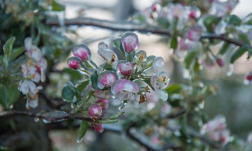 Am Wochenende bedroht Frost die Blüten