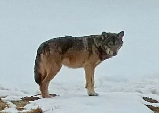 Dieser Wolf wurde in Kärnten gesichtet.