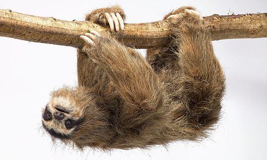 Das Faultier, das entspannteste Tier im Urwald