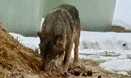 Etliche Male wurde der Wolf bisher in der Nähe von Siedlungen gesehen