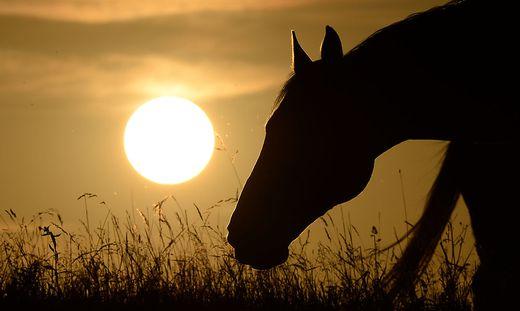 Weil Pferde  beim Grasen die Nase ja tief am Boden haben, reagieren sie auch auf Gräser oft allergisch