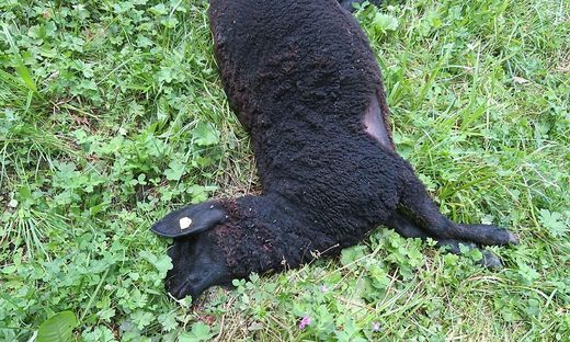 Eines der drei gerissenen Schafe