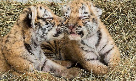 Verschmust: die zwei Tigerbabys