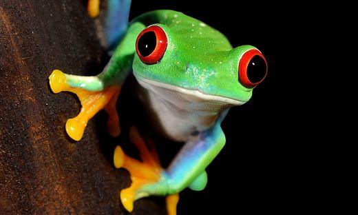 Bewohner des Regenwaldes auch in Costa Rica: Rotaugenlaubfrosch