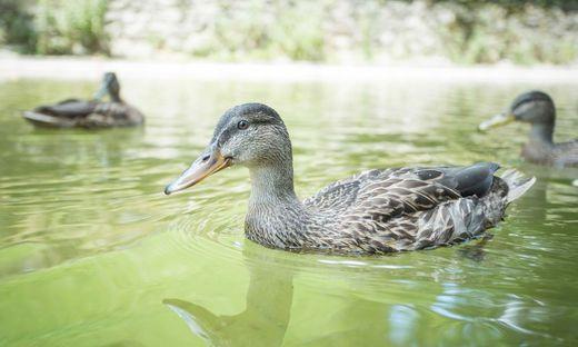 Ruhezone für Enten und Gänsesäger soll kommen