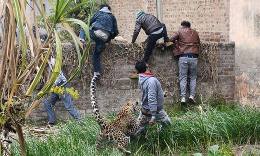 Verirrter Leopard verletzte mehrere Schaulustige in indischer Stadt