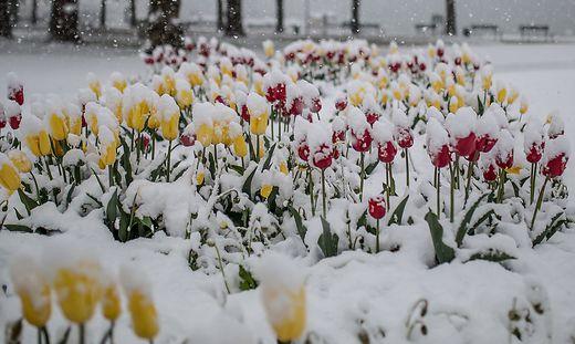 Die Frühlingsblumen werden am Dienstag mancherorts eine Schneehaube tragen
