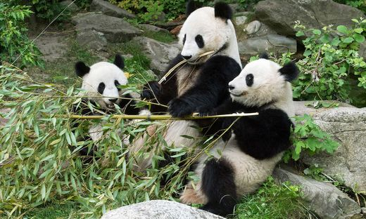Schonbrunn Panda Zwillinge Feiern Zweiten Geburtstag Kleinezeitung At