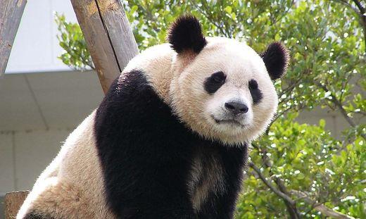 So schaut's aus, wenn Fu Bao einmal groß ist