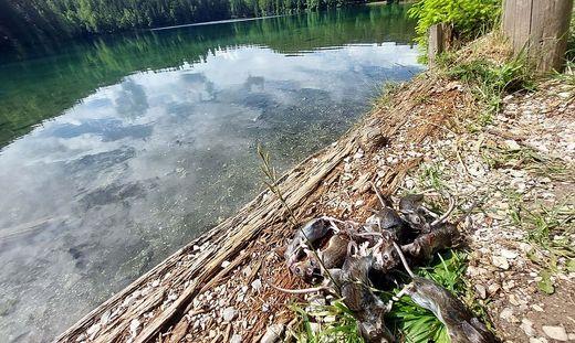 Das Mäuse-Problem an den Laghi di Fusine (Weißenfelser Seen) wird weniger, ist aber noch nicht vorbei