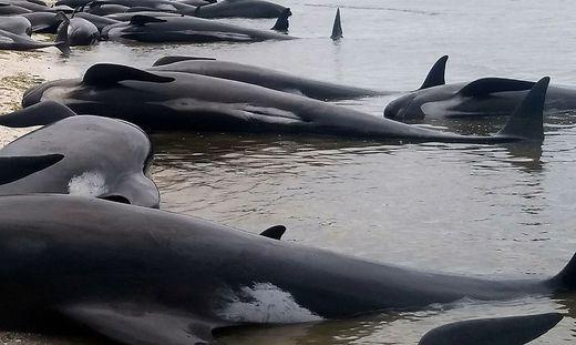 Neuseeland: 38 Wale an Westküste gestrandet