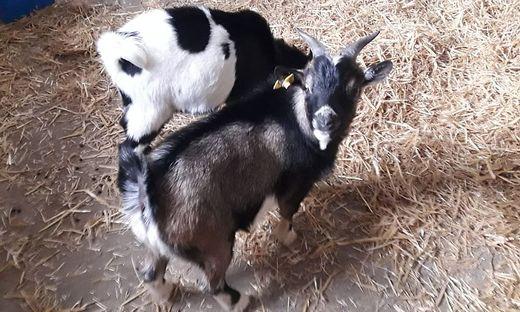 Die Ziegen sorgten für Aufregung
