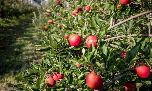 Bis Mitte September läuft in Österreich für gewöhnlich die Apfelernte