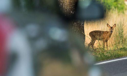 Immer mehr Wildunf�lle in Sachsen