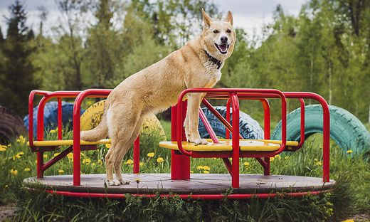 Belgische Schäferhunde sind laut Experten prinzipiell nicht als gefährlich einzustufen
