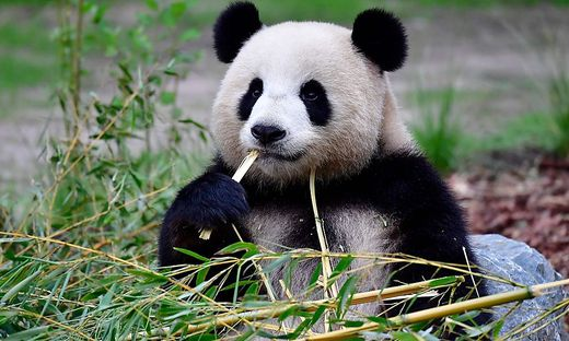 Meng Meng bringt Panda-Zwillinge auf die Welt