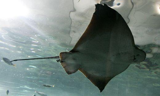 Tasmanien: Stachelrochen tötet Schwimmer vor tasmanischer Küste mit Stich in Bauch