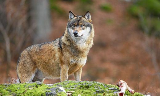 """DNA-Tests sollen klären, ob der """"Täter"""" ein Wolf ist"""