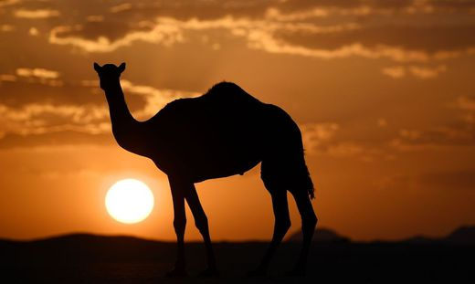 Scharfschützen sollen in Australien bis zu 10.000 Kamele töten